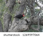 groundhornbill in a tree ... | Shutterstock . vector #1269597064