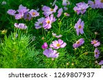 a group of pink cosmos flower... | Shutterstock . vector #1269807937