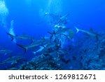 shark feeding of grey reef... | Shutterstock . vector #1269812671