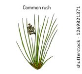 common or soft rush  juncus... | Shutterstock .eps vector #1269821371
