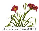 Small photo of Bush of purle daylily ( hemerocallis) 'Little Missy' with buds on a white background isolation