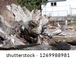 A piece of driftwood looks like a dragon or a dinosaur on the shores at low tide in Hoodsport, WA, USA.