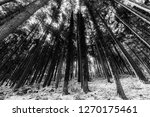 trees with snow in winter | Shutterstock . vector #1270175461