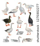 Set Of Vector Geese In...