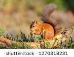 Red Squirrel Feeding In...