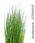 Rough Horsetail Isolated On...