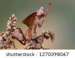 deroplatys truncata is a...   Shutterstock . vector #1270398067