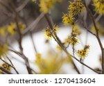 hamamelis bloom in winter   Shutterstock . vector #1270413604