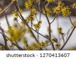 hamamelis bloom in winter   Shutterstock . vector #1270413607