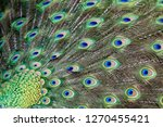 plumage of  a male peacock ... | Shutterstock . vector #1270455421