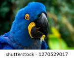 Blue With Yellow Hyacinth Maca...