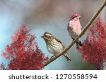 purple finch mates perched on... | Shutterstock . vector #1270558594