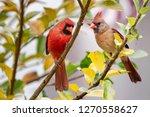 Northern Cardinal Mates Perched ...
