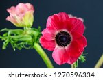 two vibrant pink anemones on... | Shutterstock . vector #1270596334