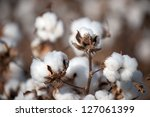Cotton Balls On The Plant Read...
