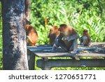 proboscis monkeys endemic of... | Shutterstock . vector #1270651771