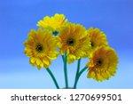 yellow gerbera on blue... | Shutterstock . vector #1270699501