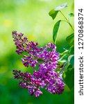 Syringa Lilac Species Of...