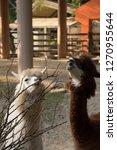 Alpaca Chewing Grass  Feeding...
