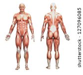 human anatomy and muslcles | Shutterstock . vector #127096085