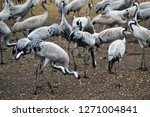 migrating cranes at hula valley ... | Shutterstock . vector #1271004841
