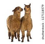Two Alpacas Looking At Each...