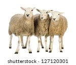 three sheep against white... | Shutterstock . vector #127120301