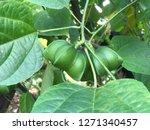 inca sacha inchi  plant in... | Shutterstock . vector #1271340457