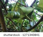 inca sacha inchi  plant in... | Shutterstock . vector #1271340841