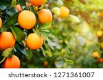 oranges on the plant before... | Shutterstock . vector #1271361007