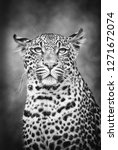 young leopard profile in black... | Shutterstock . vector #1271672074