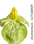 Small photo of Yellow, trillium luteum, bloom, on white background.