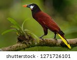 Montezuma Oropendola - Psarocolius montezuma  New World tropical icterid bird. It is in the Caribbean coastal lowlands, Mexico, Panama, Nicaragua, Honduras, Costa Rica