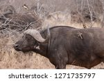 seen in kruger national park | Shutterstock . vector #1271735797