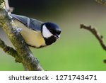 close up of a great tit  parus... | Shutterstock . vector #1271743471
