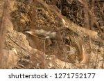 Stock photo rabbit hare european hare lepus europaeus hiding in the rabbit hole mimicry 1271752177