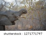 elephant eating   greater... | Shutterstock . vector #1271771797