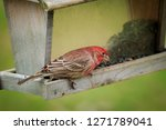 house finch at feeder  eating... | Shutterstock . vector #1271789041