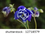 Vivid blue columbine flower in bloom with additional blossoms in the background.  Macro with shallow dof and selective focus on center of flower. - stock photo