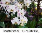 beatiful phalaenopsis orchid... | Shutterstock . vector #1271880151