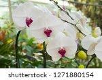 beatiful phalaenopsis orchid... | Shutterstock . vector #1271880154