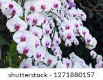 beatiful phalaenopsis orchid... | Shutterstock . vector #1271880157