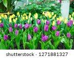 beatiful colorful tulip flowers ... | Shutterstock . vector #1271881327