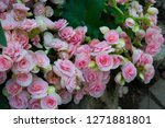 close up of beatiful begonia... | Shutterstock . vector #1271881801