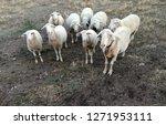 ruminant domestic mammalia.... | Shutterstock . vector #1271953111