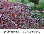 weeping branches covered in... | Shutterstock . vector #1271959447