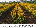 marigold flowerbed beside road... | Shutterstock . vector #1272009367