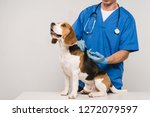 Stock photo cropped view of veterinarian microchipping beagle dog with syringe isolated on grey 1272079597