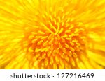 yellow dandelion close up | Shutterstock . vector #127216469
