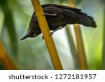 Stock photo carib grackle sitting on palm tree in garden trinidad and tobago black bird perching on branch 1272181957